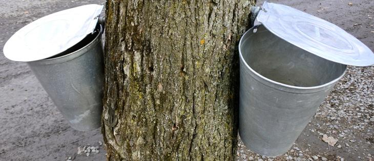 メープルシロップ カエデ 樹液