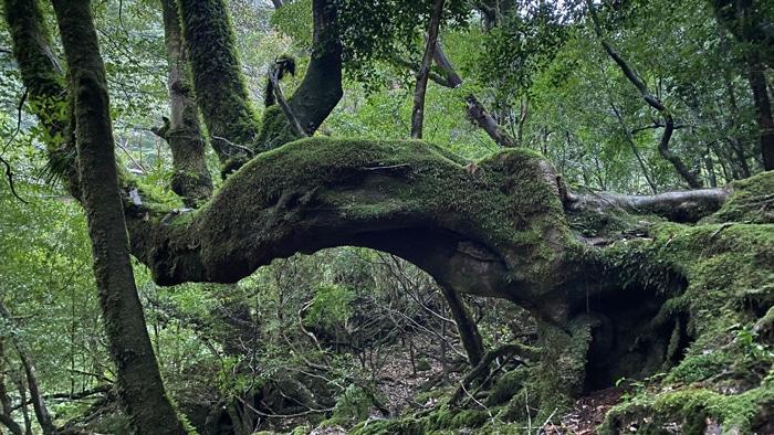 屋久島 苔 杉