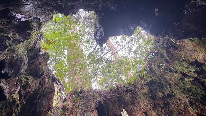 屋久島 ウィルソン杉 ハート型