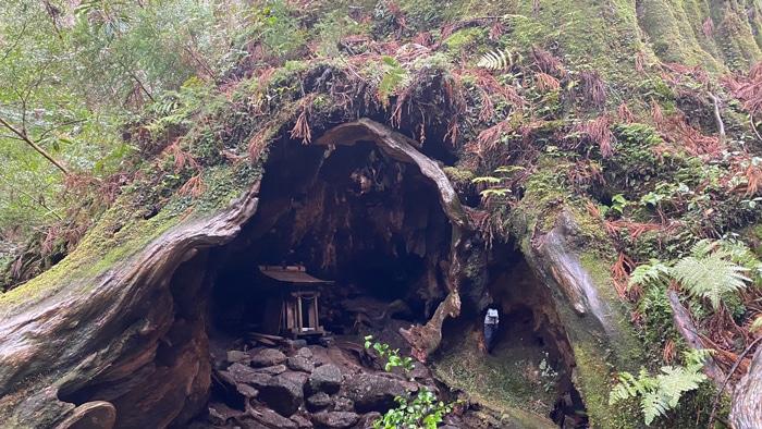 屋久島 ウィルソン杉
